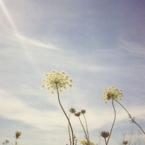 Nature photography, Queen Annes lace, summer photo, wild flowers, cottage chic wall art, shabby chic decor - Under the Country Sky We Grow