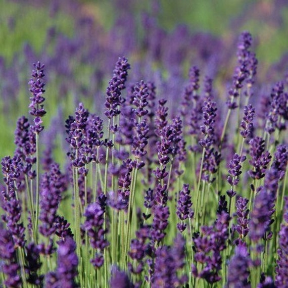 Heirloom Lavender Seeds Hidcote Blue English Perennial Herb Shipping ...