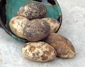 Reserved for Judy    Egg Gourds- Goose Size, for Crafts, Primitive Bowl Filler, Natural, Organiclly Grown