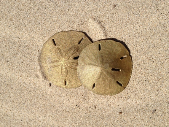 Gold Sanddollars & Compass Package