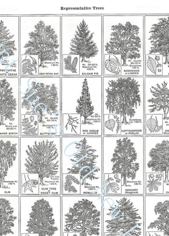 Sale Representative Trees Identification Illustrations Chart For ...
