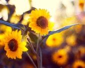 Nature Photography, Flower Photograph, Sunflower Photo, Autumn Home Decor, Warm Colors, Fall, Farmhouse, Yellow, Orange, Rustic Art