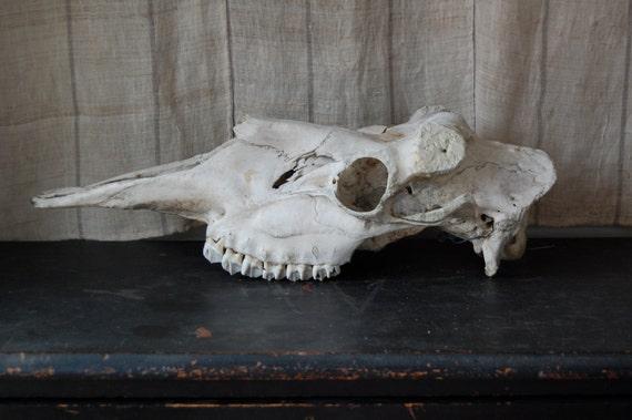 SALE moose skull