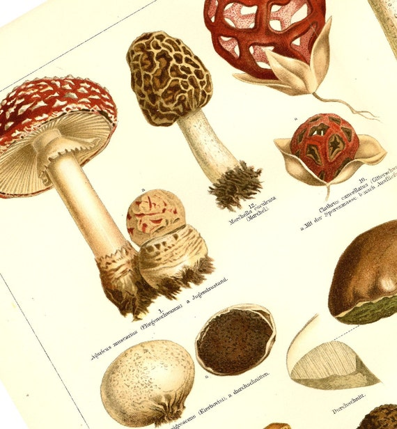 1899 ''Pilze'', Mushrooms Edible and Poisonous, Victorian Era Natural History Chromolithograph