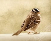 White-crowned sparrow - 5x7 Fine Art Original Photograph