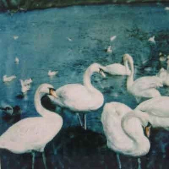 Swan Photograph - The Queen's Swans ( Edinburgh) - Signed Fine Art Photograph