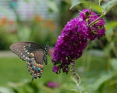 Nature photographs  butterfly bush  garden wonders butterfly beauty - WildFeatherStudio