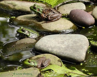 Three Frogs in a Pond