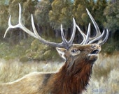 A bull elk calls for the ladies in early autumn, giclee print