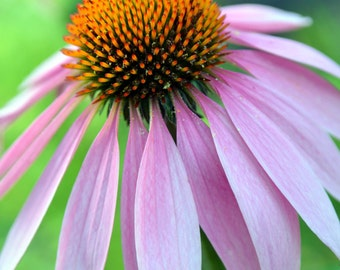 Pink Cone Flower Note Card