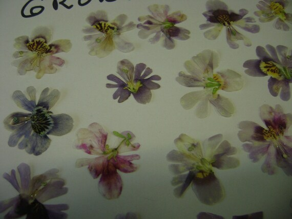 SALE  Angel Wings Schizanthus Flowers Pressed and Preserved 20 pcs. 190 FL