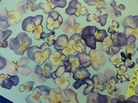 Viola Grown in Alaska 50 plus Flowers Pressed and  Preserved 323 FL