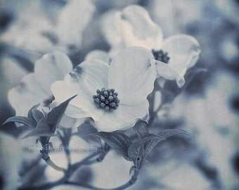 Blue & White Dogwood Tree Photography, flower home decor print