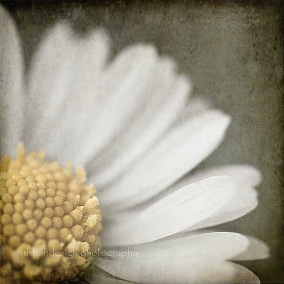 Daisy Day Dreams - 8x8 Fine Art Photography Print
