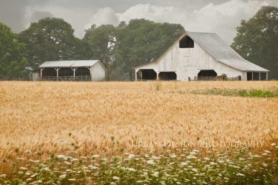 White Barn Photography, gold, wheat fields, country, farm, barn picture, country decor, agriculture, rustic, fall colors