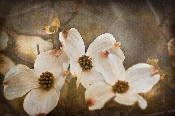 dogwood tree flowers photograph beige  u0026 brown spring photo