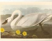 Old 1937 JOHN JAMES AUDUBON The Birds Of America Book Plate Whistling Swan (411)