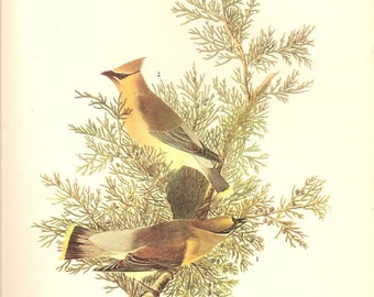 Old 1937 JOHN JAMES AUDUBON The Birds Of America Book Plate Cedar Waxwing (43)
