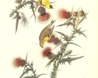 Old 1937 JOHN JAMES AUDUBON The Birds Of America Book Plate Goldfinch (33)