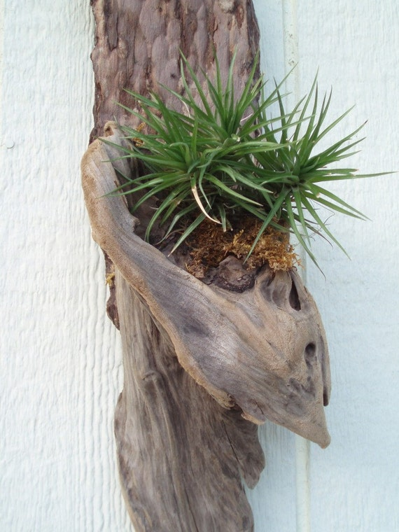 Gilded Lily Driftwood Tillandsia Wall Hanging