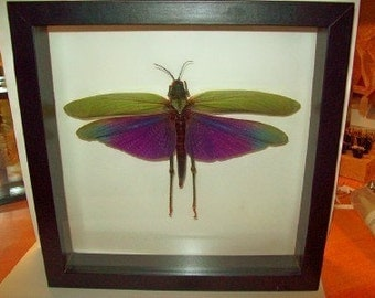 SPECIAL SALE Fantastic Giant Purple Wing Grasshopper