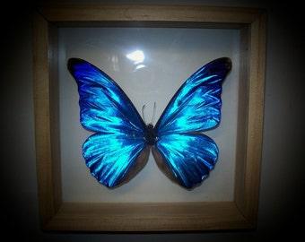 Morpho rehtenor/The Mirror Wing Beauty