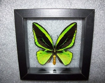 I Poseidon Green Bird Wing Butterfly.