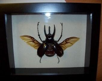 Fantastic Atlas Beetle