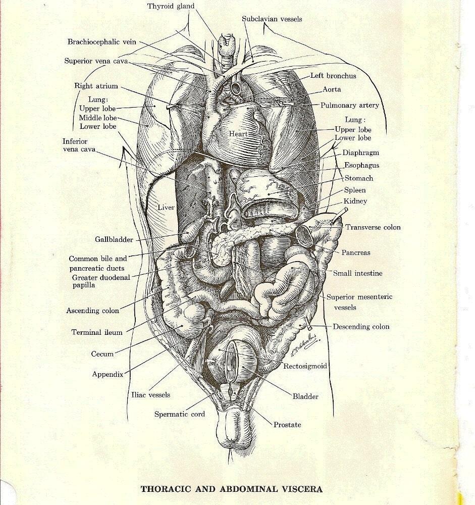 Vintage anatomy illustrations