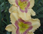 Daylily ROYAL EASTER