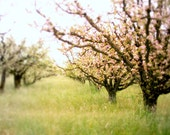 Landscape photography, apple orchard fruit trees in spring, pink and green nursery decor, flowering trees  'Awakening'