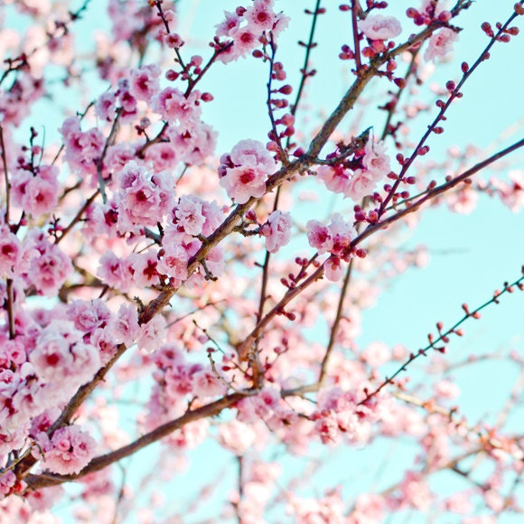 Cherry blossoms photography pink tree branch by LupenGrainne