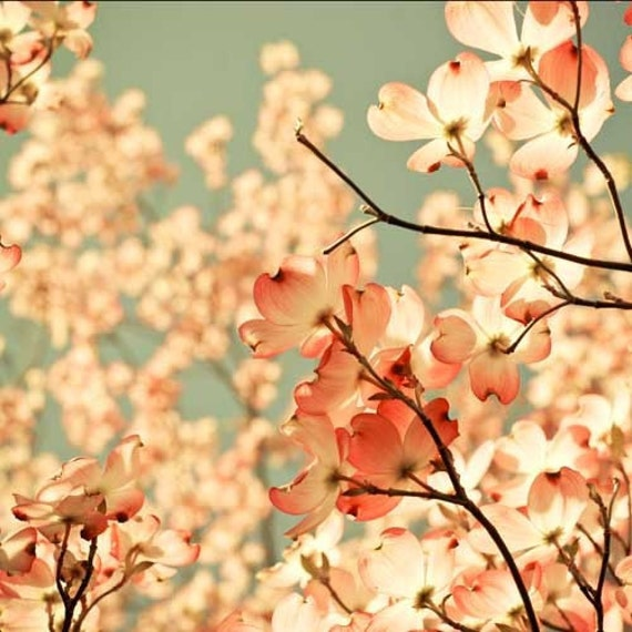 Pink spring flower photography . wall decor for gardener . french country art . nursery decor . feminine wall art . 12x12