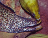Moray Eels Photograph nautical creepy fish art square photo ocean sealife 5x5 print green spotted purple