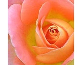 Rose 1 - nature photography