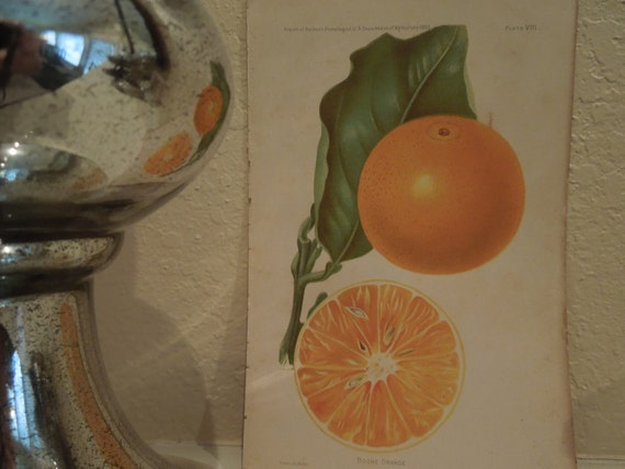 Antique Botanical Print  Orange Book Plate  1893