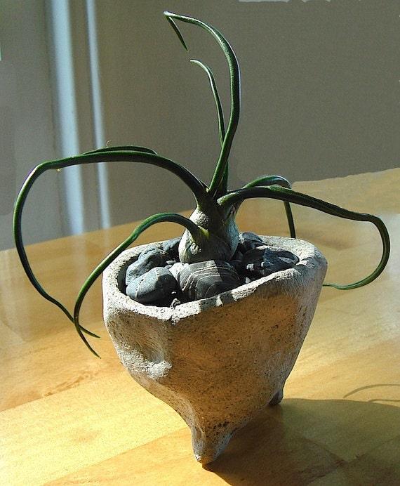 SALE Zen Concrete Mini Pot with Bulbosa Air Plant Terrarium