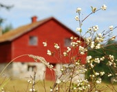 Red Barn and Snowberries