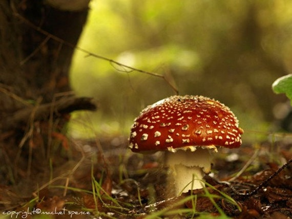 Amanita Mushroom Photograph 8X10 Mushroom Print Affordable Home Photography Prints Nature Photography Decor Nature Lover Woodland Scene