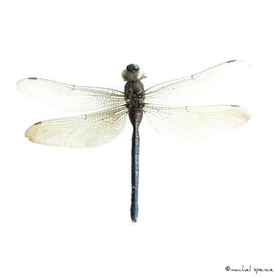 Dragonfly Specimen Photograph Print...Affordable Art Nature Decor Woodland Forest Scene Water Insect  Odonata Epiprocta
