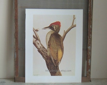vintage large color plate green woodpecker by Louis Agassiz Fuertes.