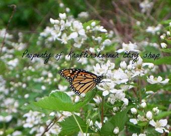 Photo Print Monarch Butterfly on Wild Blackberries 4 x 6, 5 x 7, or 8  x 10