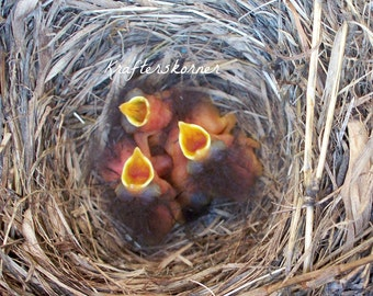 Photo Print Baby Bluebirds in Nest 4 x 6, 5 x 7, or 8 x 10