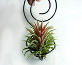 Wire Air plant holder - Spiral Wall Hanging