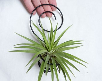 Air Plant Holder- Spiral Wall Hanging