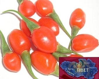 Goji Seeds - 500 Tibetan Grown Organic GOJI Berry Seeds