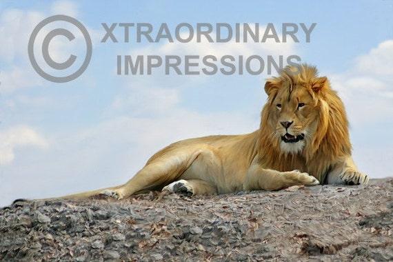 Orginal Art, ACEO, Lion, Keeping Watch