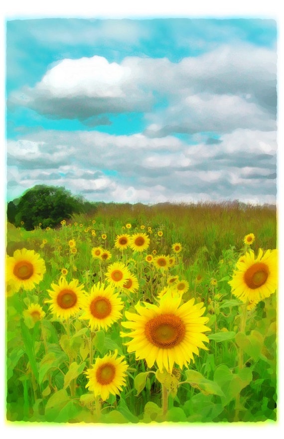 Sunflowers, Clouds today,11x17, Original, art, photography, nature, Art Photograph, Limited Edition, Sunflowers, clouds, Home decor