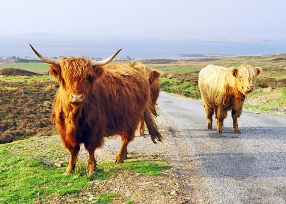 Highland Coos Cow Print Scotland Photography Island of Skye Cow Photograph Fine Art 5x7 Nature Photo Highland Cows Scotland Decor Wall Decor