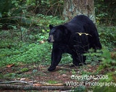Black Bear Ambling Photograph